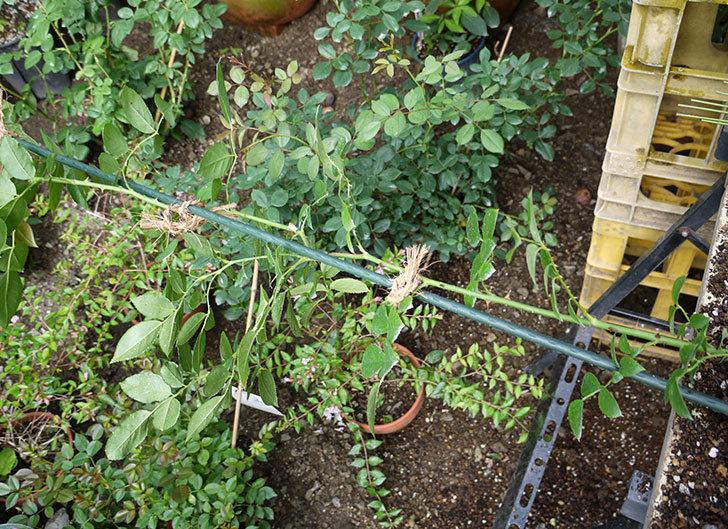 ジンジャー・シラバブ(ツルバラ)の新苗を8号のEUロングスリット鉢に鉢増しした。2016年-4.jpg