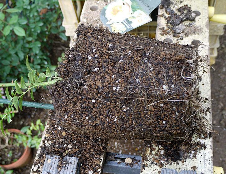 ジンジャー・シラバブ(ツルバラ)の新苗を8号のEUロングスリット鉢に鉢増しした。2016年-5.jpg