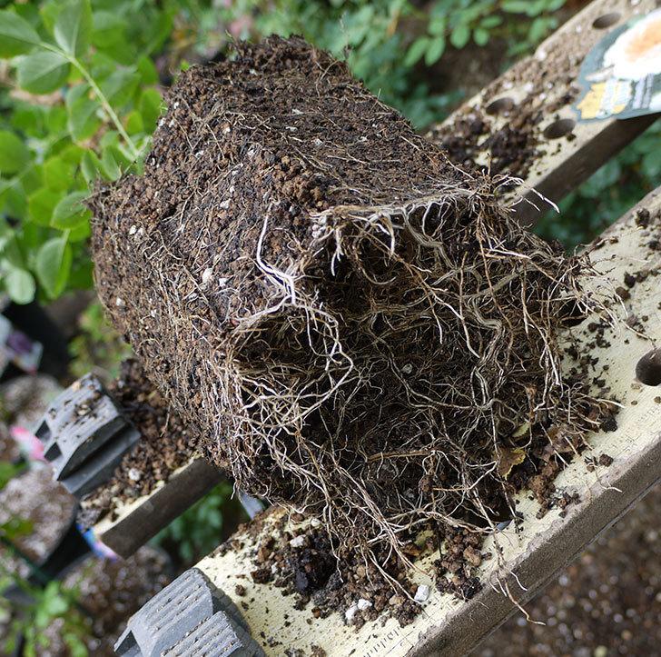 ジンジャー・シラバブ(ツルバラ)の新苗を8号のEUロングスリット鉢に鉢増しした。2016年-6.jpg