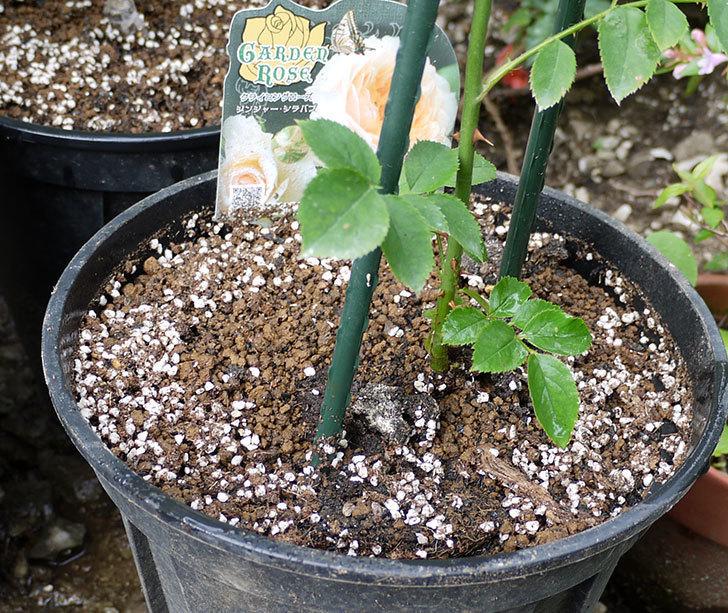ジンジャー・シラバブ(ツルバラ)の新苗を8号のEUロングスリット鉢に鉢増しした。2016年-7.jpg