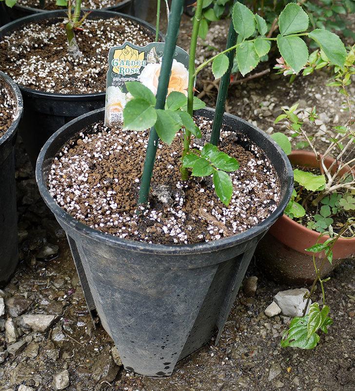 ジンジャー・シラバブ(ツルバラ)の新苗を8号のEUロングスリット鉢に鉢増しした。2016年-8.jpg