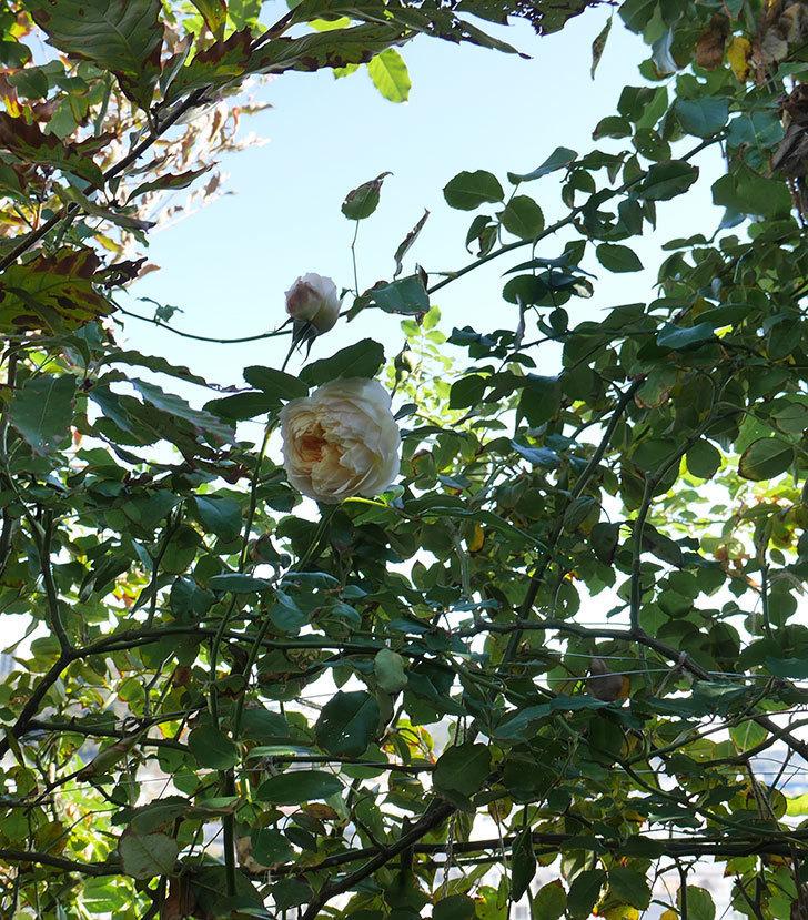 ジンジャー・シラバブ(ツルバラ)の秋花が咲いた。2018年-6.jpg