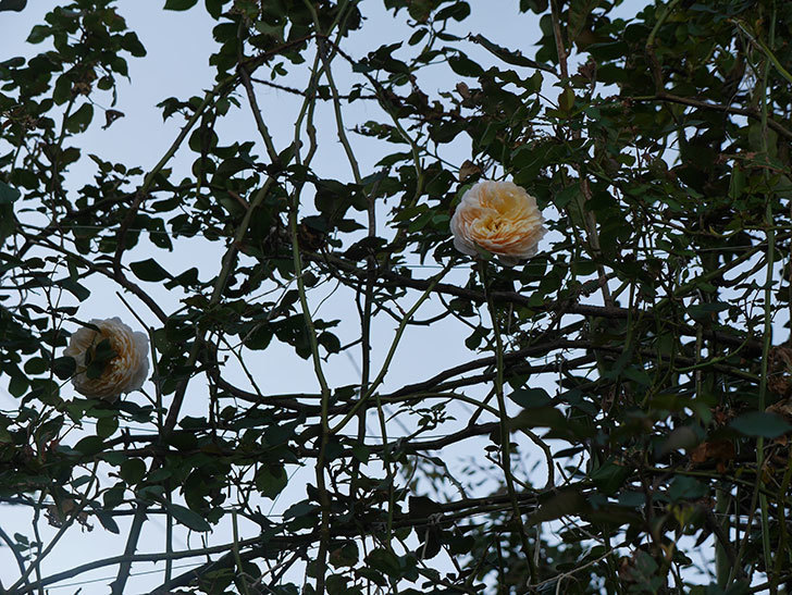 ジンジャー・シラバブ(ツルバラ)の秋花が咲いた。2019年-3.jpg