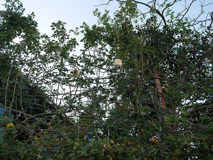 ジンジャー・シラバブ(ツルバラ)の秋花が咲いた。2019年-4.jpg