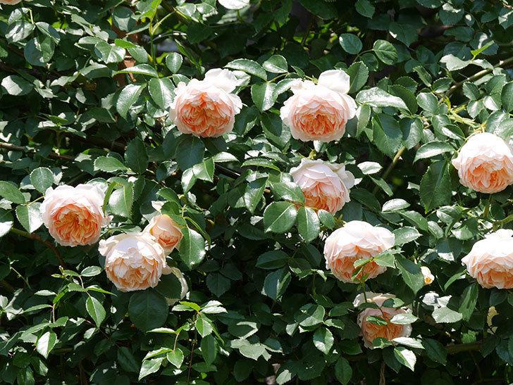 ジンジャー・シラバブ(ツルバラ)の花がたくさん咲いた。2019年-1.jpg