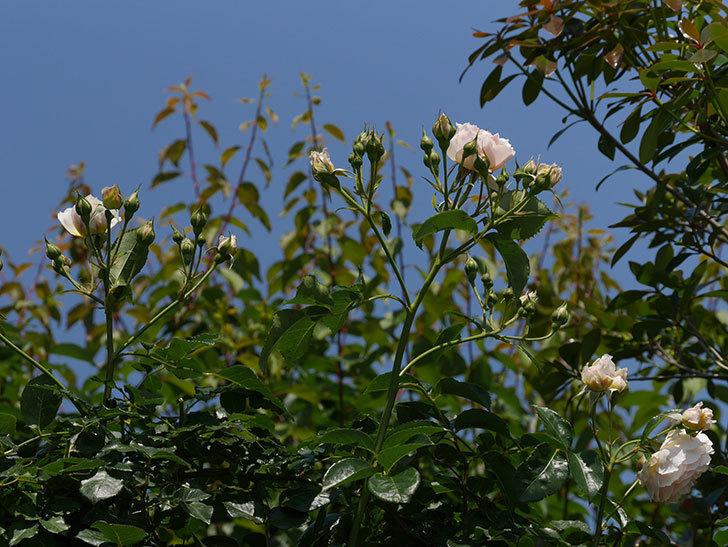 ジンジャー・シラバブ(ツルバラ)の花がたくさん咲いた。2019年-10.jpg