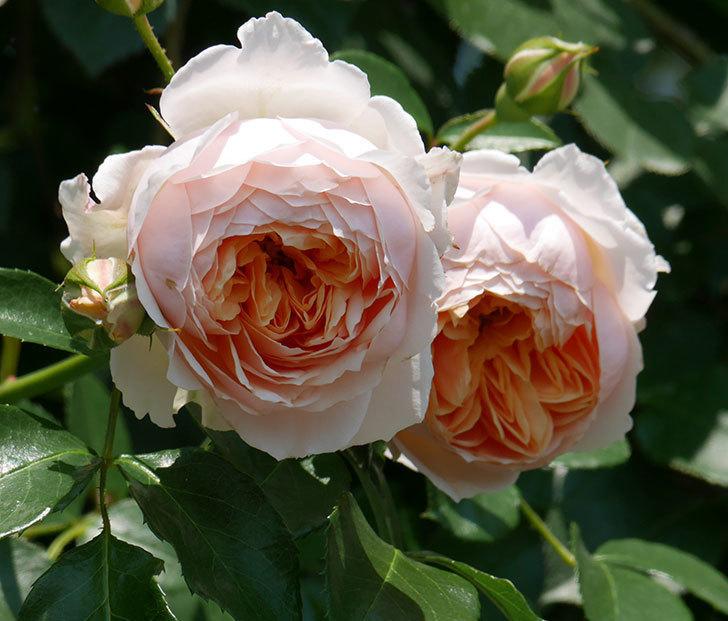 ジンジャー・シラバブ(ツルバラ)の花がたくさん咲いた。2019年-11.jpg