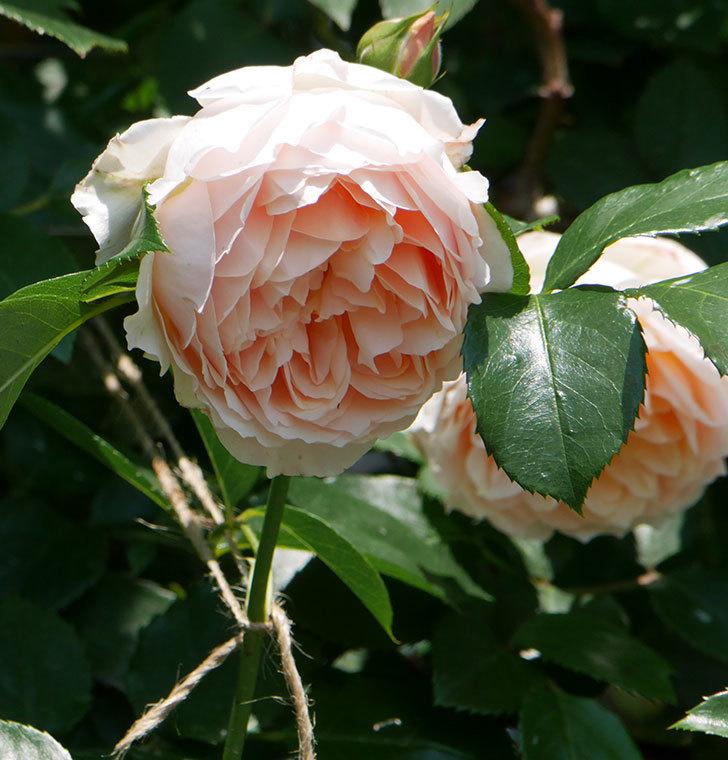 ジンジャー・シラバブ(ツルバラ)の花がたくさん咲いた。2019年-12.jpg