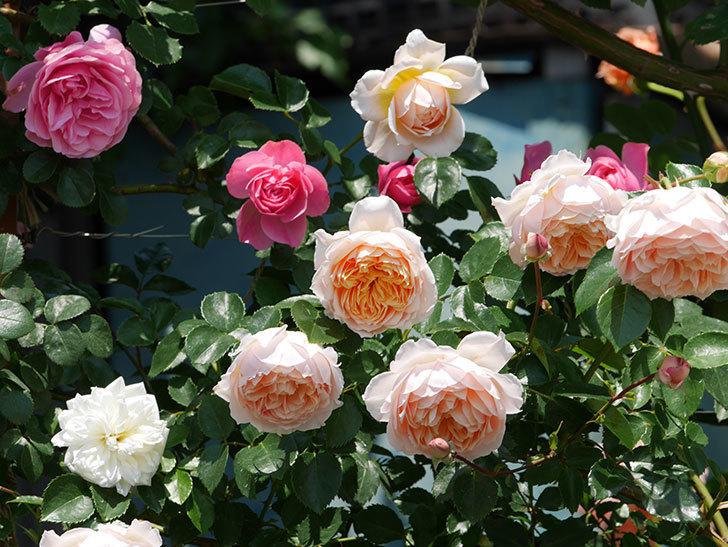 ジンジャー・シラバブ(ツルバラ)の花がたくさん咲いた。2019年-14.jpg