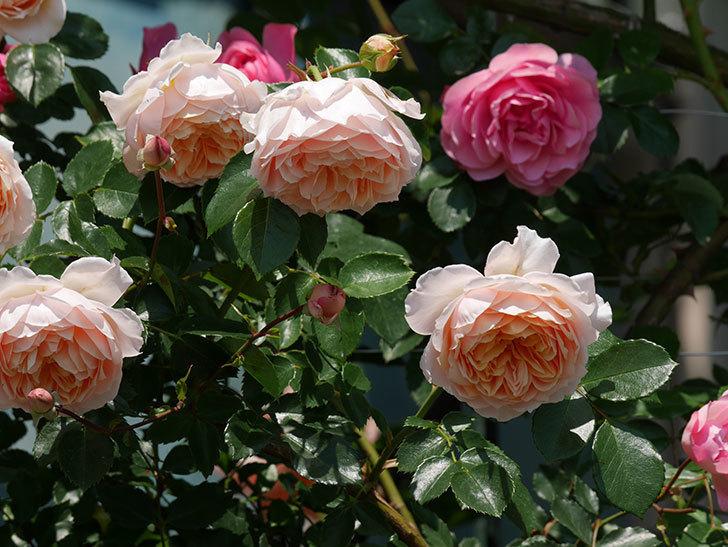 ジンジャー・シラバブ(ツルバラ)の花がたくさん咲いた。2019年-15.jpg
