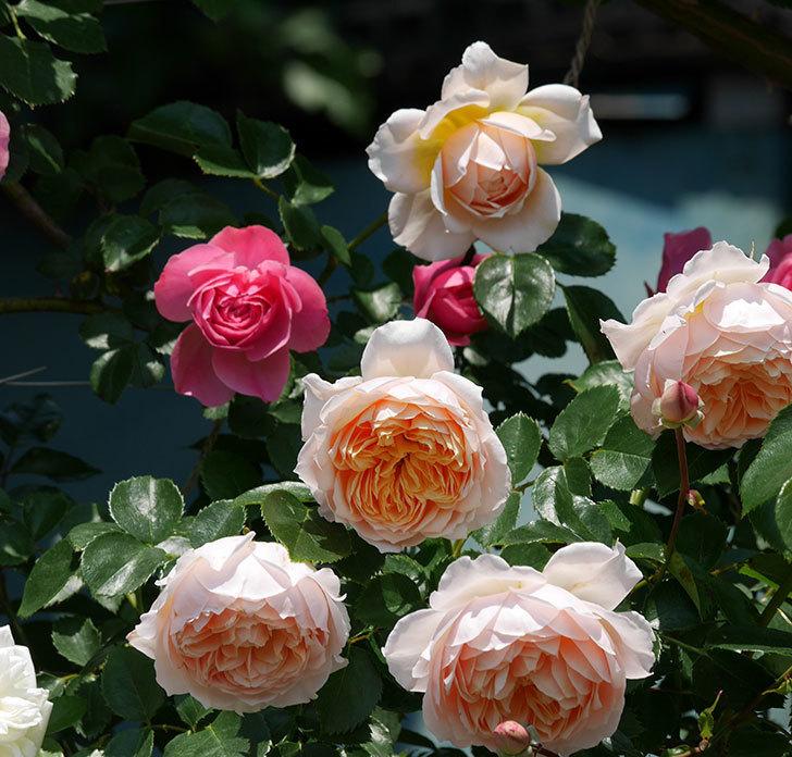 ジンジャー・シラバブ(ツルバラ)の花がたくさん咲いた。2019年-16.jpg
