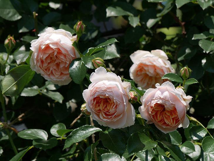 ジンジャー・シラバブ(ツルバラ)の花がたくさん咲いた。2019年-17.jpg