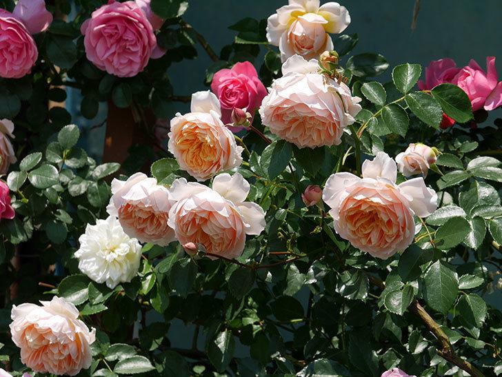 ジンジャー・シラバブ(ツルバラ)の花がたくさん咲いた。2019年-19.jpg