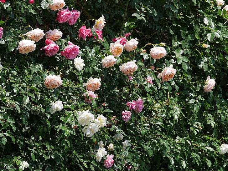 ジンジャー・シラバブ(ツルバラ)の花がたくさん咲いた。2019年-2.jpg