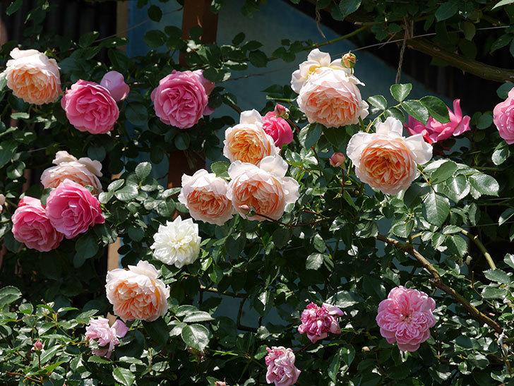 ジンジャー・シラバブ(ツルバラ)の花がたくさん咲いた。2019年-20.jpg