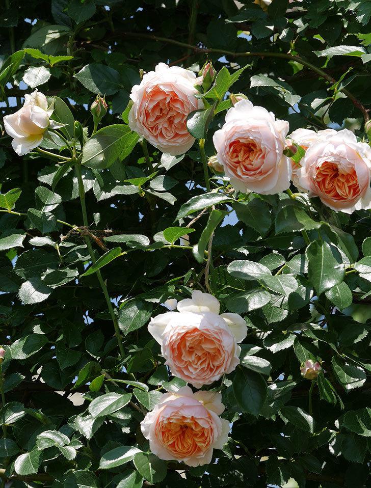ジンジャー・シラバブ(ツルバラ)の花がたくさん咲いた。2019年-21.jpg