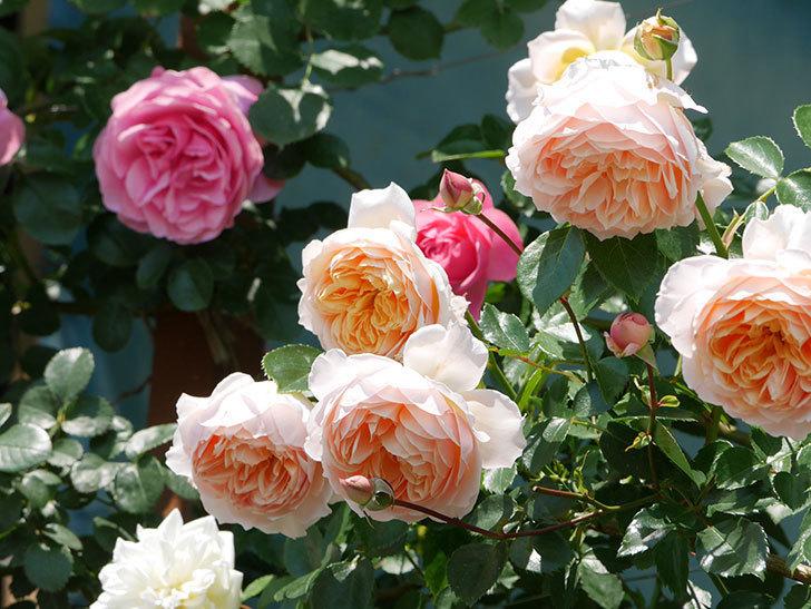 ジンジャー・シラバブ(ツルバラ)の花がたくさん咲いた。2019年-22.jpg