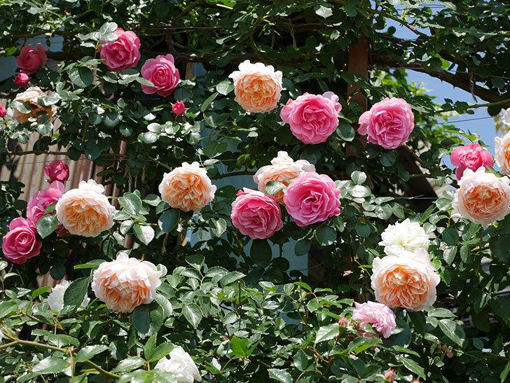 ジンジャー・シラバブ(ツルバラ)の花がたくさん咲いた。2019年-23.jpg