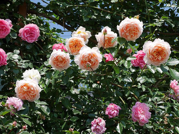 ジンジャー・シラバブ(ツルバラ)の花がたくさん咲いた。2019年-24.jpg
