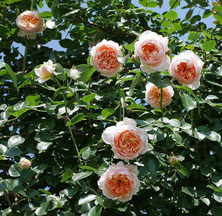 ジンジャー・シラバブ(ツルバラ)の花がたくさん咲いた。2019年-25.jpg