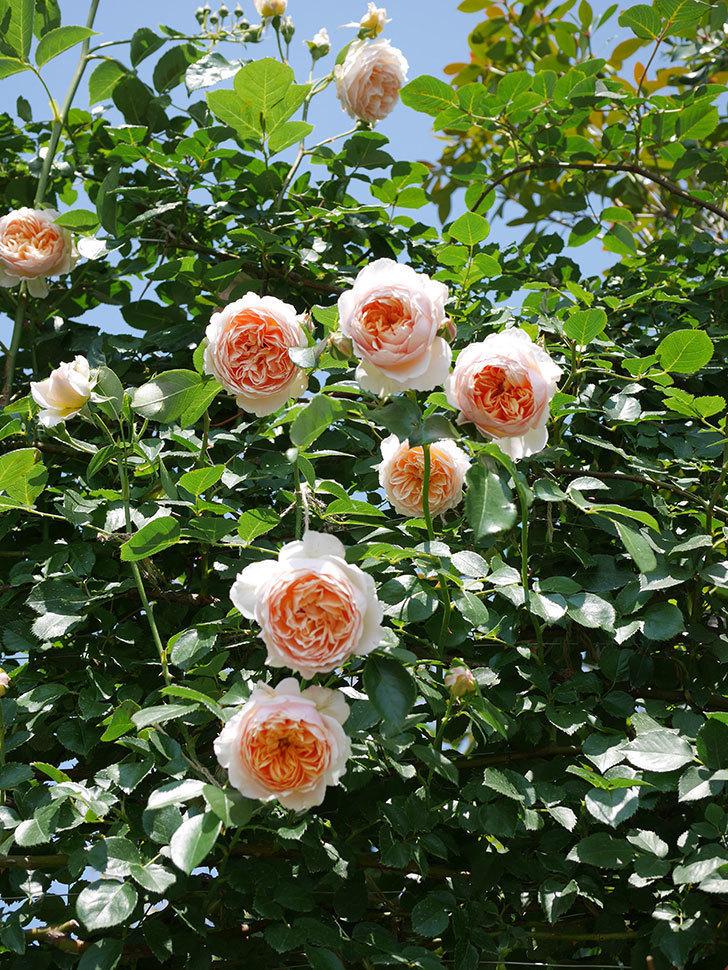 ジンジャー・シラバブ(ツルバラ)の花がたくさん咲いた。2019年-26.jpg