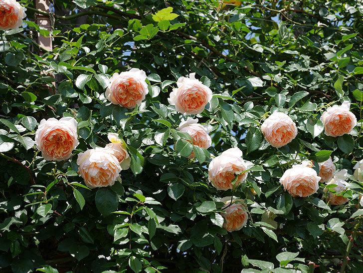 ジンジャー・シラバブ(ツルバラ)の花がたくさん咲いた。2019年-27.jpg