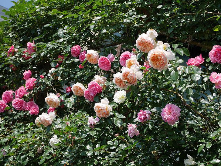ジンジャー・シラバブ(ツルバラ)の花がたくさん咲いた。2019年-28.jpg