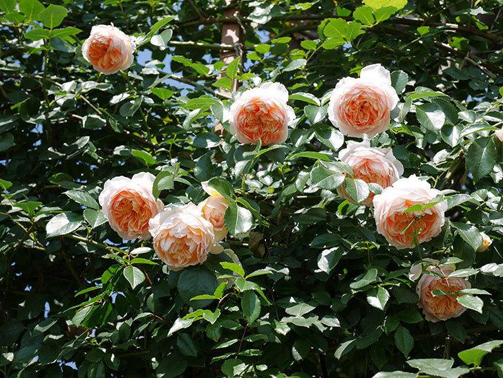 ジンジャー・シラバブ(ツルバラ)の花がたくさん咲いた。2019年-29.jpg