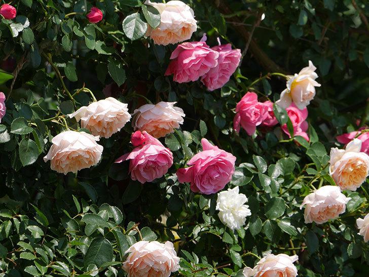 ジンジャー・シラバブ(ツルバラ)の花がたくさん咲いた。2019年-3.jpg