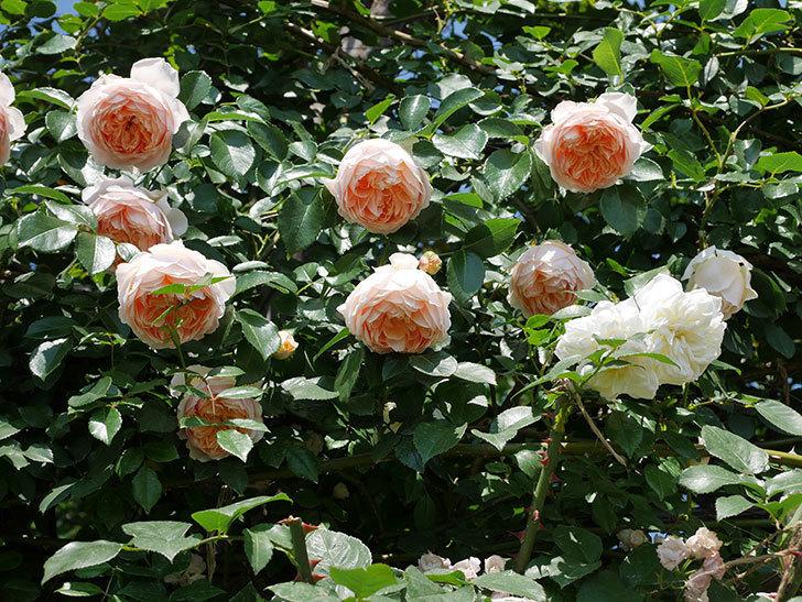 ジンジャー・シラバブ(ツルバラ)の花がたくさん咲いた。2019年-30.jpg