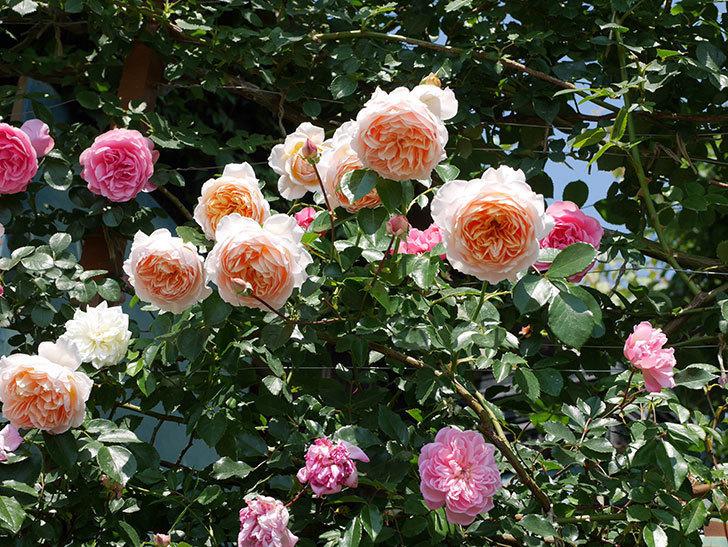 ジンジャー・シラバブ(ツルバラ)の花がたくさん咲いた。2019年-31.jpg