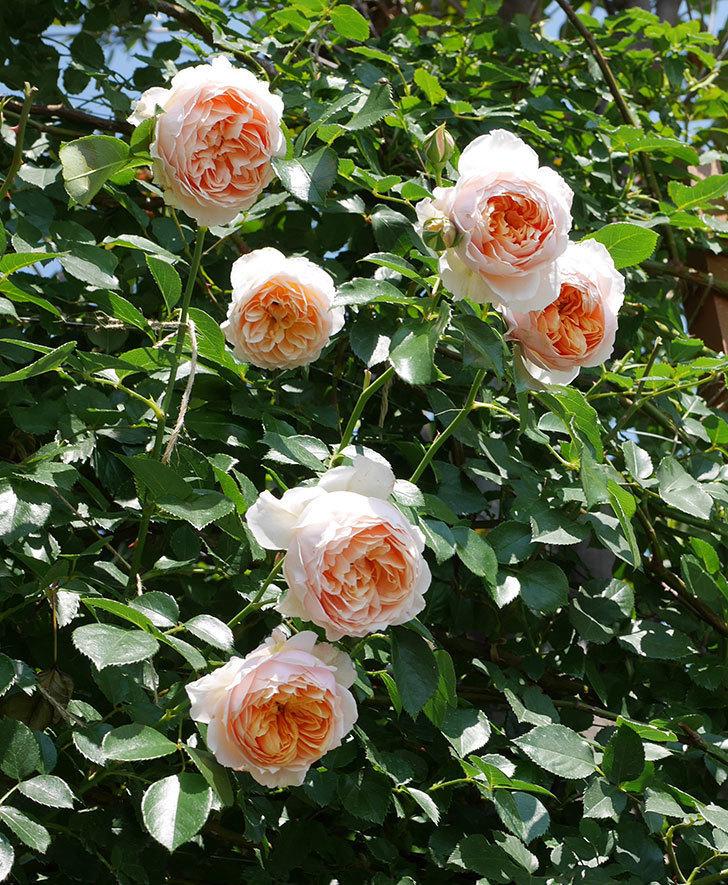 ジンジャー・シラバブ(ツルバラ)の花がたくさん咲いた。2019年-32.jpg
