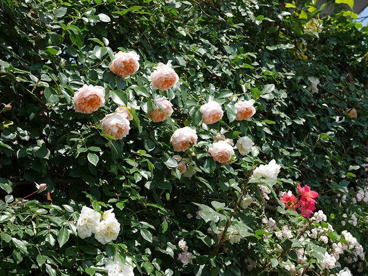 ジンジャー・シラバブ(ツルバラ)の花がたくさん咲いた。2019年-33.jpg