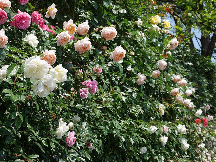 ジンジャー・シラバブ(ツルバラ)の花がたくさん咲いた。2019年-35.jpg