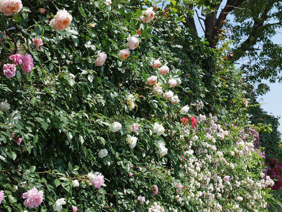 ジンジャー・シラバブ(ツルバラ)の花がたくさん咲いた。2019年-36.jpg
