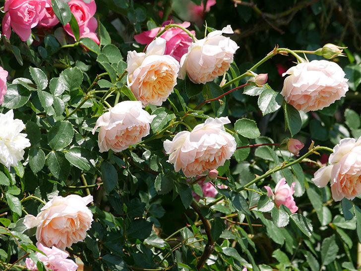 ジンジャー・シラバブ(ツルバラ)の花がたくさん咲いた。2019年-4.jpg