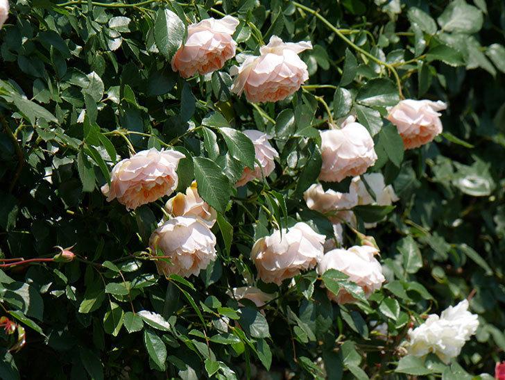 ジンジャー・シラバブ(ツルバラ)の花がたくさん咲いた。2019年-5.jpg