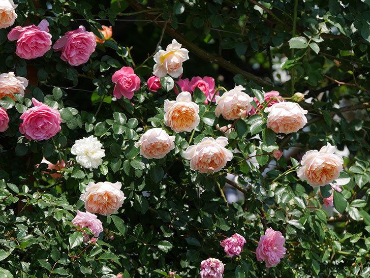 ジンジャー・シラバブ(ツルバラ)の花がたくさん咲いた。2019年-6.jpg
