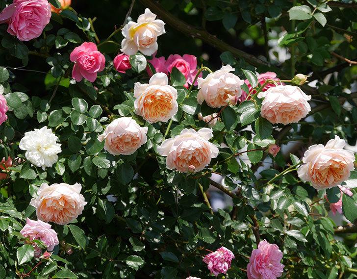 ジンジャー・シラバブ(ツルバラ)の花がたくさん咲いた。2019年-7.jpg