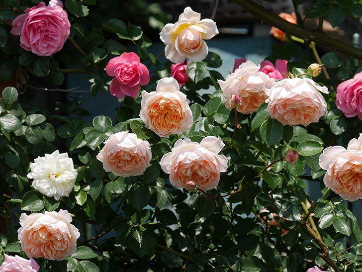 ジンジャー・シラバブ(ツルバラ)の花がたくさん咲いた。2019年-8.jpg