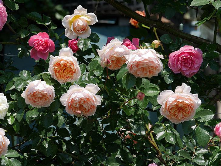 ジンジャー・シラバブ(ツルバラ)の花がたくさん咲いた。2019年-9.jpg