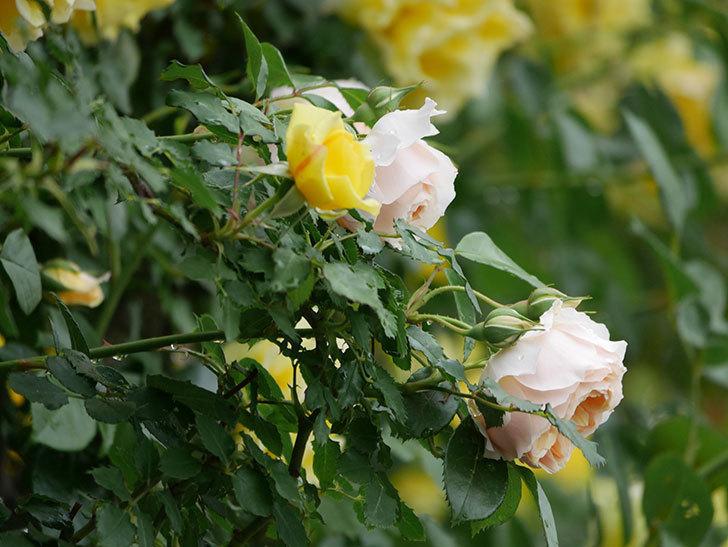 ジンジャー・シラバブ(ツルバラ)の花がたくさん咲いた。2020年-001.jpg