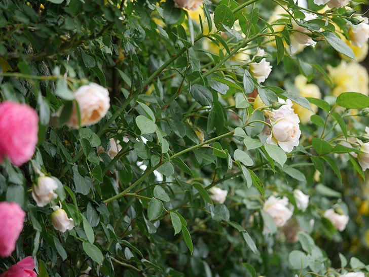 ジンジャー・シラバブ(ツルバラ)の花がたくさん咲いた。2020年-002.jpg