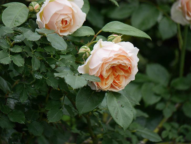 ジンジャー・シラバブ(ツルバラ)の花がたくさん咲いた。2020年-005.jpg