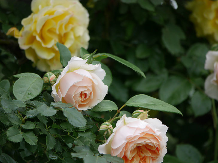 ジンジャー・シラバブ(ツルバラ)の花がたくさん咲いた。2020年-006.jpg
