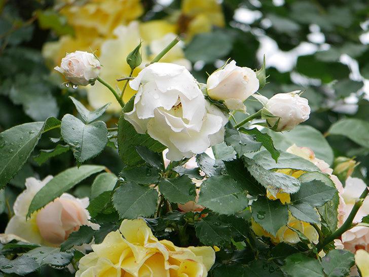 ジンジャー・シラバブ(ツルバラ)の花がたくさん咲いた。2020年-007.jpg