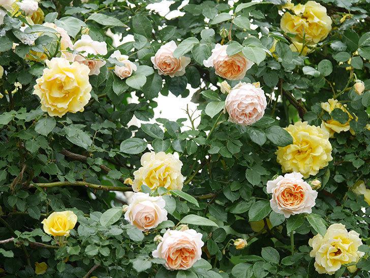 ジンジャー・シラバブ(ツルバラ)の花がたくさん咲いた。2020年-008.jpg