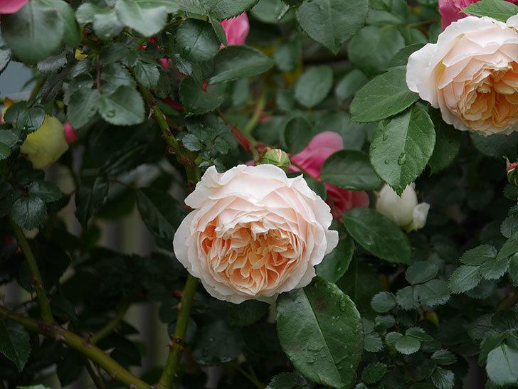 ジンジャー・シラバブ(ツルバラ)の花がたくさん咲いた。2020年-009.jpg
