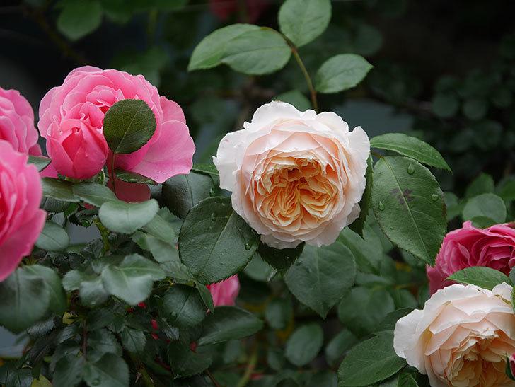 ジンジャー・シラバブ(ツルバラ)の花がたくさん咲いた。2020年-010.jpg