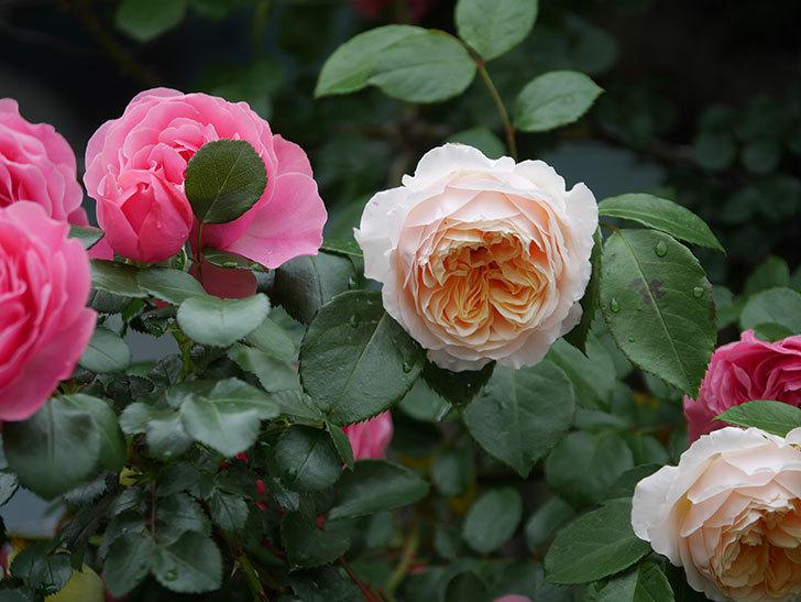 ジンジャー・シラバブ(ツルバラ)の花がたくさん咲いた。2020年-011.jpg